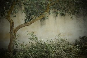 olive-tree-1756611_1920